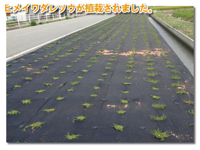 会社近く字田子島道路の路肩ヒメイワダレソウ植栽完了01