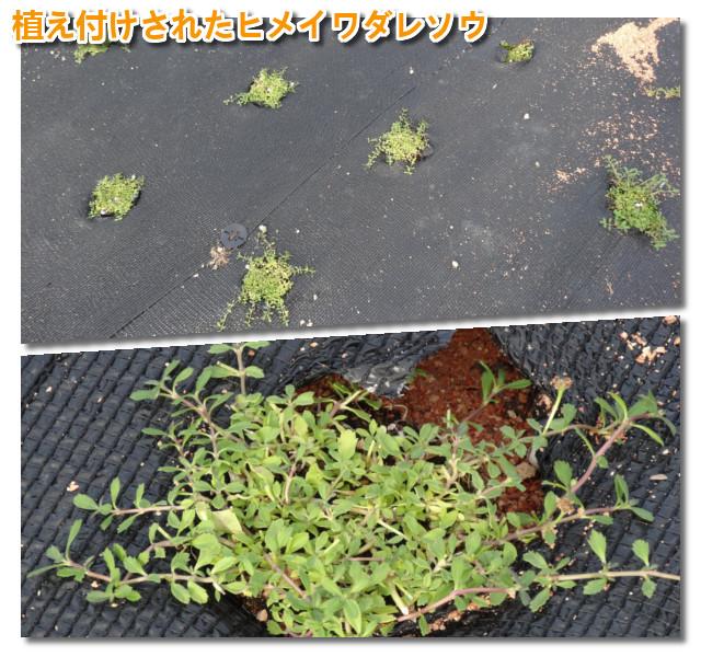 会社近く字田子島道路の路肩ヒメイワダレソウ植栽完了02